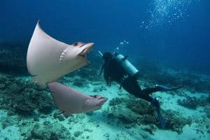 where can you dive with rays