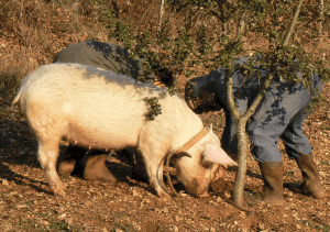Hunting Truffles with a Pig